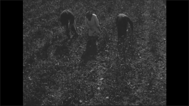 1940s: Crouching people harvesting crop, picking from plants, placing in bag.