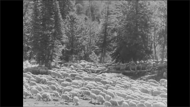 1940s: Sheep grazing, man with dog in background. Man cooking on camp stove, flock of sheep walking. Sheep walking through forest. High angle, man herding sheep with horses, pan across sheep.