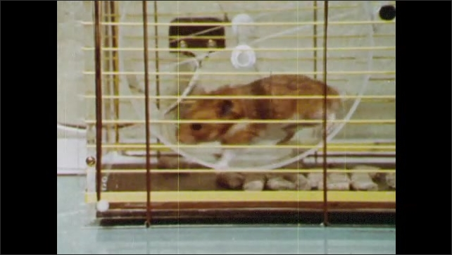 1960s: Hamster in cage climbs into wheel and runs. Person watches. Person holds hamster on back in hand. Hamster runs in cage. Person in lab looks at cages.