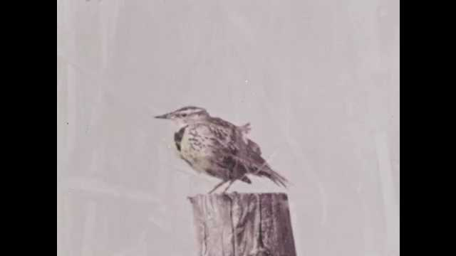 1960s: Meadowlark sits on fence post and sings.