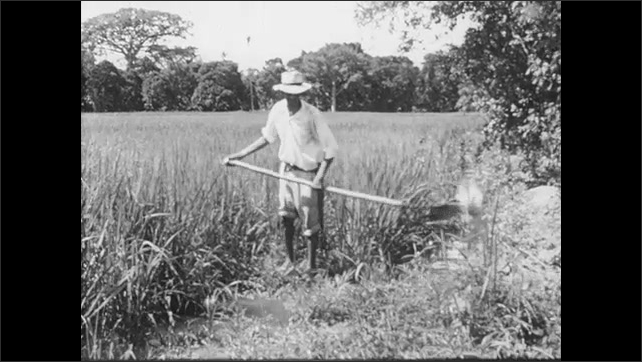 1950s: Men drive tractor and cart of sugar cane on plantation. Smoke billows from sugar factory near cane fields. Man digs irrigation ditch. Men harvest bananas from trees on plantation.