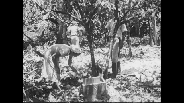 1950s: Men and women harvest cacao pods from trees on plantation. Man cuts channels in rubber tree plant with machete.