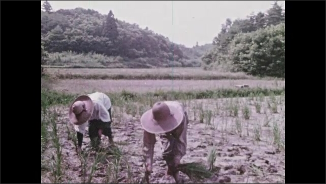 1970s: man rides motorized sower spreading powder over field, workers bend and plant rice in muddy field, man pushes equipment through muddy rice field to plant rice mechanically