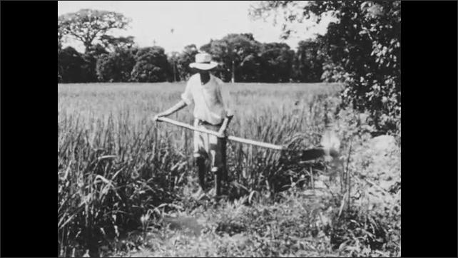 1960s: Long shot of farm equipment, men harvesting sugarcane. Exterior of refinery. Man digging in field. Shots of men harvesting bananas.
