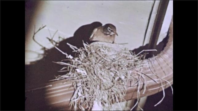 1950s: Birds in birdbath. Bird feeds young birds in nest. Bird on branch in tree picks berries.