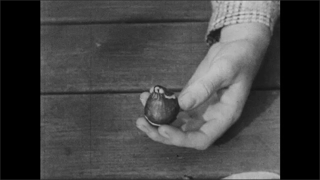 1960s: Person digs tulip from ground with shovel. Person points at bold on end of tulip. Person opens bulb and points at layers growing inside.