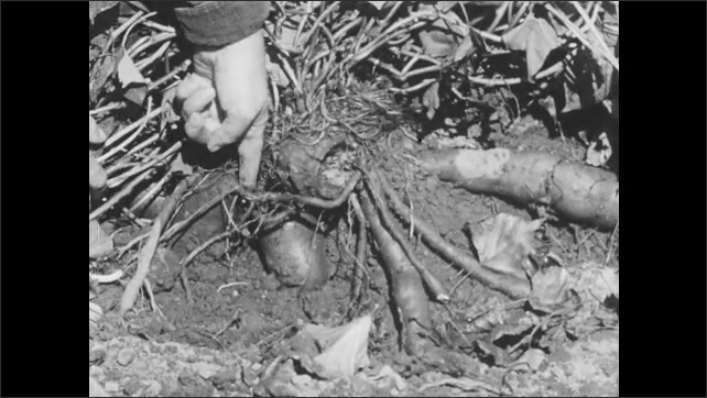 1960s: Person flips over sweet potato plant in garden to expose sweet potatoes. Person holds sweet potato. Sweet potato is place in tray with other sweet potatoes.