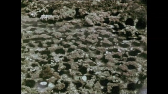 1960s: Tide pool. Coral in tide pool with sea urchins. Sea urchin.