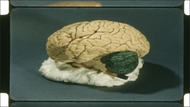 1950s: Model of brain on cloth. Person points to front, colored area of brain.