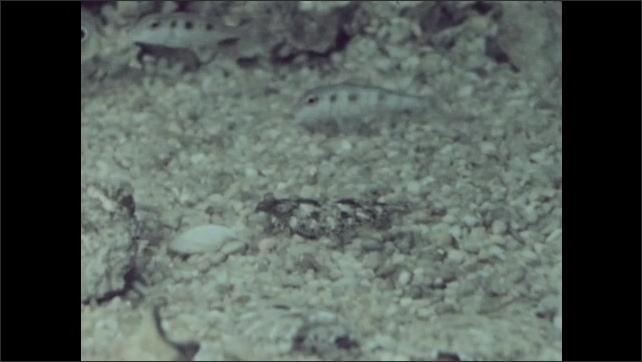 1950s: Fish swim. Crustacean crawls on rocky surface.