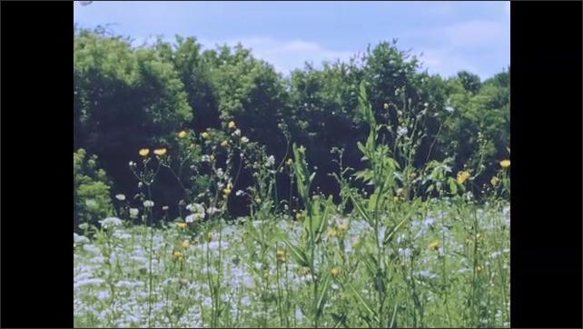1950s: Field of flowers.  Seeds drift through air.