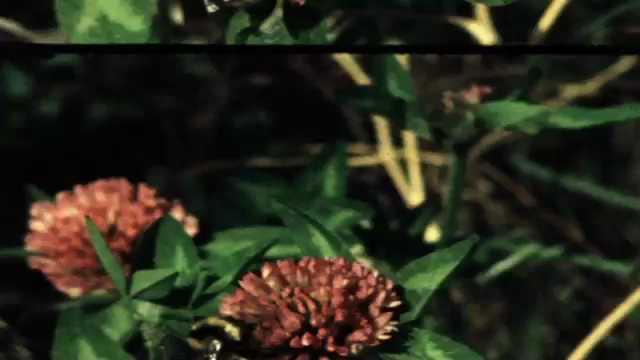 1960s: Bee on flower. Bee on flower.