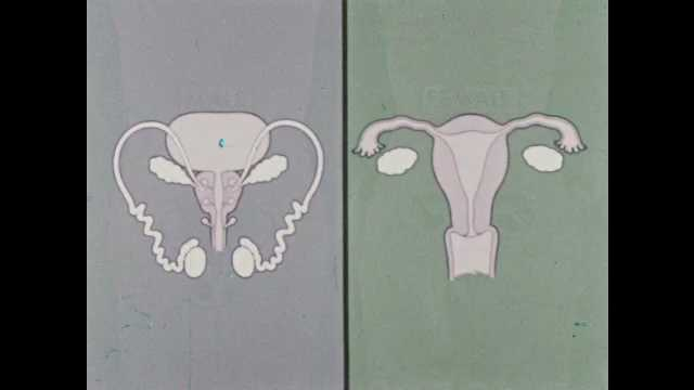1950s: Male and female reproductive systems with labels for gonads and tubes.