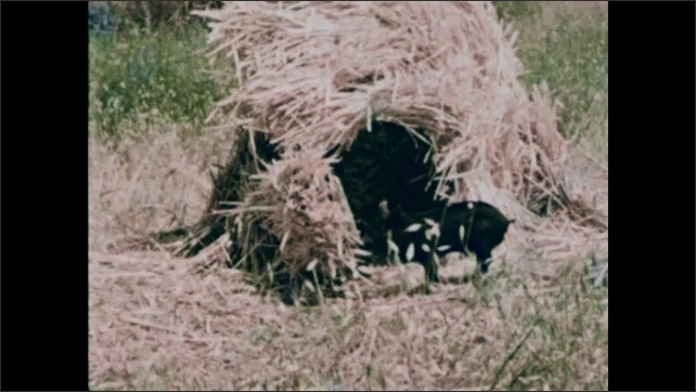 1950s: Piglet standing. Man taking straw from mule pack, dropping straw. Piglet eating straw. Piglet standing in straw hut doorway. Dog panting with tongue out.