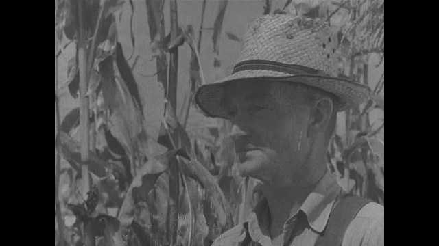 1940s:  Farmer cuts corn in field. Farmer removes hat and wipes face with a handkerchief. Corn cob on stalk.