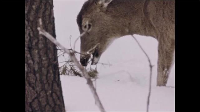 1970s: Deer eat. Giraffe eats.