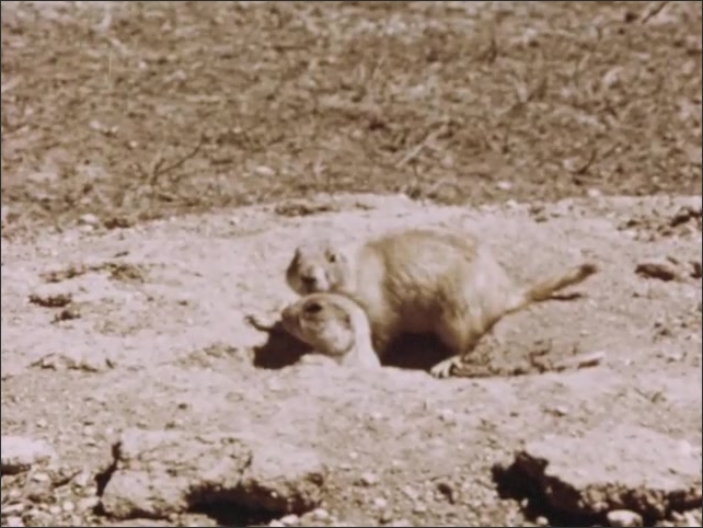 1960s: Prairie dog peers from burrow in ground. Prairie dogs sit together new burrow entrance. Wasps construct paper hive in eave of shed.