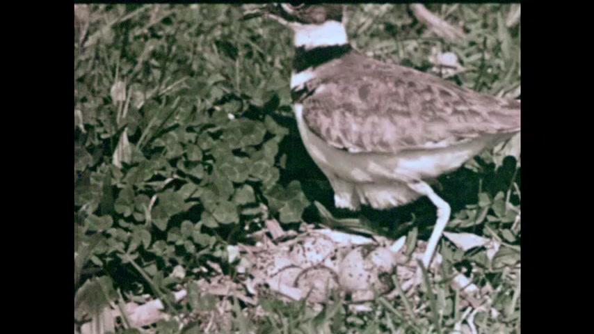 1960s: Killdeer bird sits on eggs in nest on ground. Baby birds in nest. Young birds in nest.