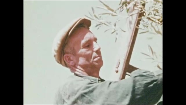 1970s: men on ladders harvest olives into baskets, carry basket, workers harvest in green fields, water wheel cycles water from well as man watches