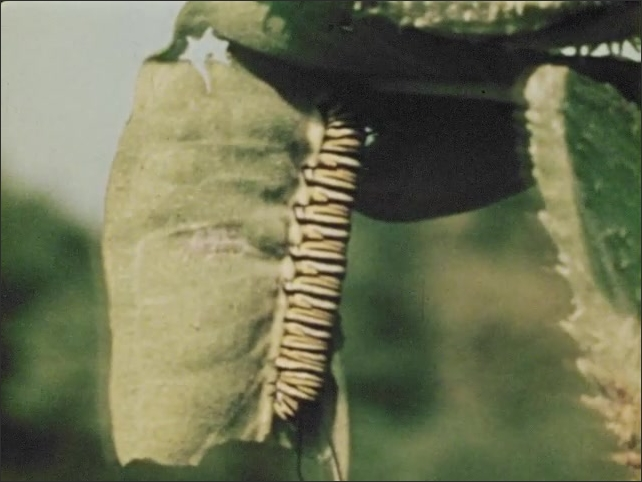1970s: Striped monarch caterpillar nibbles on milkwood leaf. Caterpillar grows. Caterpillar spins button of silk.