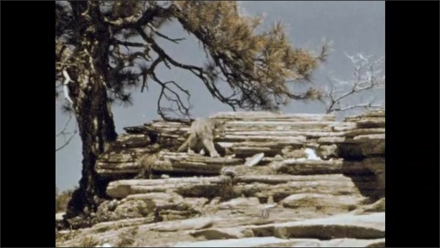 1960s: Cougar in tree. Cougar comes down out of tree, walks along rocky cliffside.