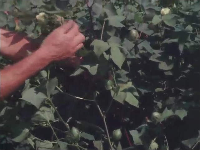 1960s: UNITED STATES: hands check leaves on cotton plant crop.