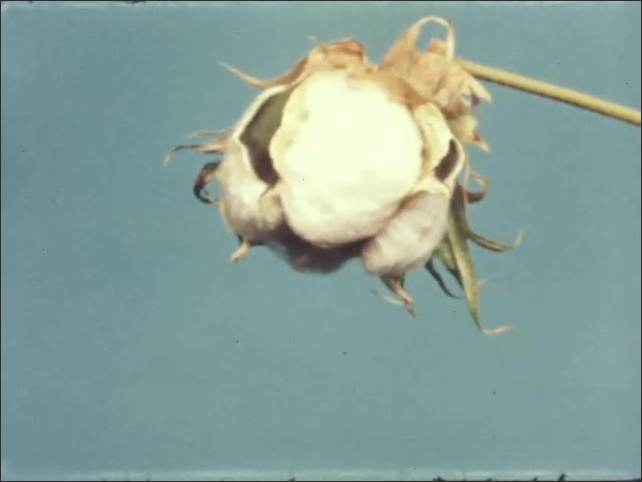 1960s: UNITED STATES: time lapse of cotton flower opening. Workers hand pick cotton from field.