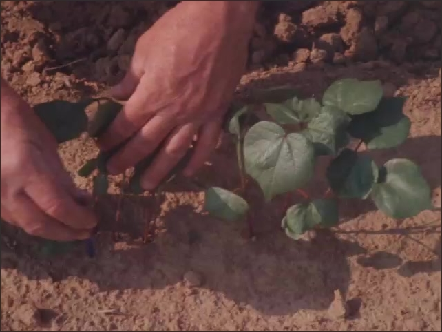 1960s: UNITED STATES: hands pull leaves on plant. Man inspects quality of plants in soil.