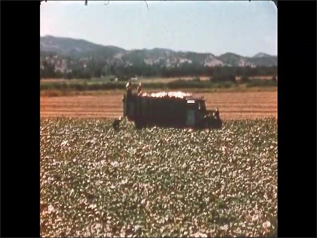 1950s: UNITED STATES: field full of squash. Squash plants ready to be picked. Truck in field. Men load squash into truck.