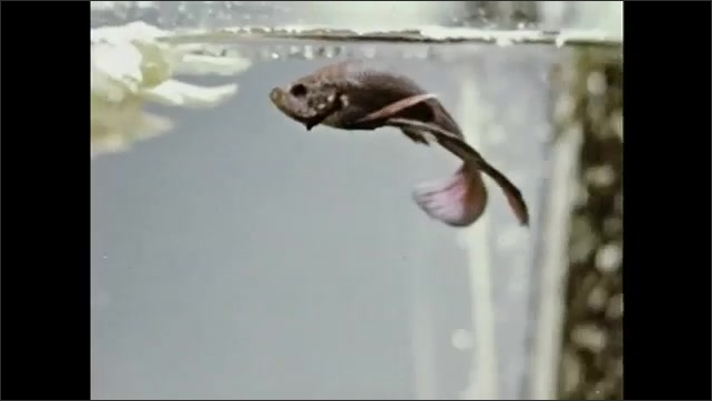 1950s: Colorful male Beta Splendens fish swims in tank with female Beta Splendens fish. Male Beta Splendens fish goes to surface to breathe oxygen.