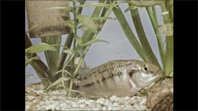 1950s: Male Egyptian Mouthbrooder digs nest in sand. Female Egyptian Mouthbrooder lays eggs and male fertilizes them.