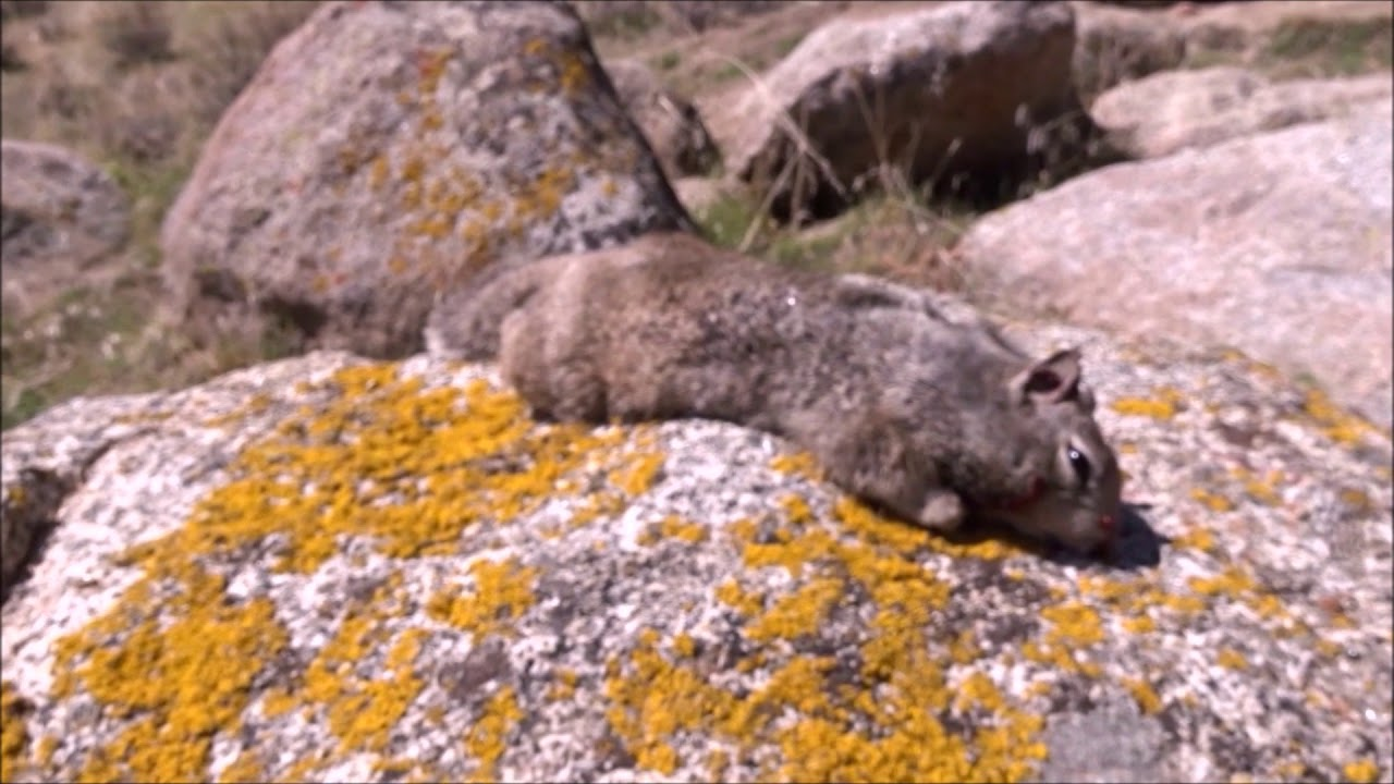 Air Rifle Ground Squirrel Hunting (Narrated)