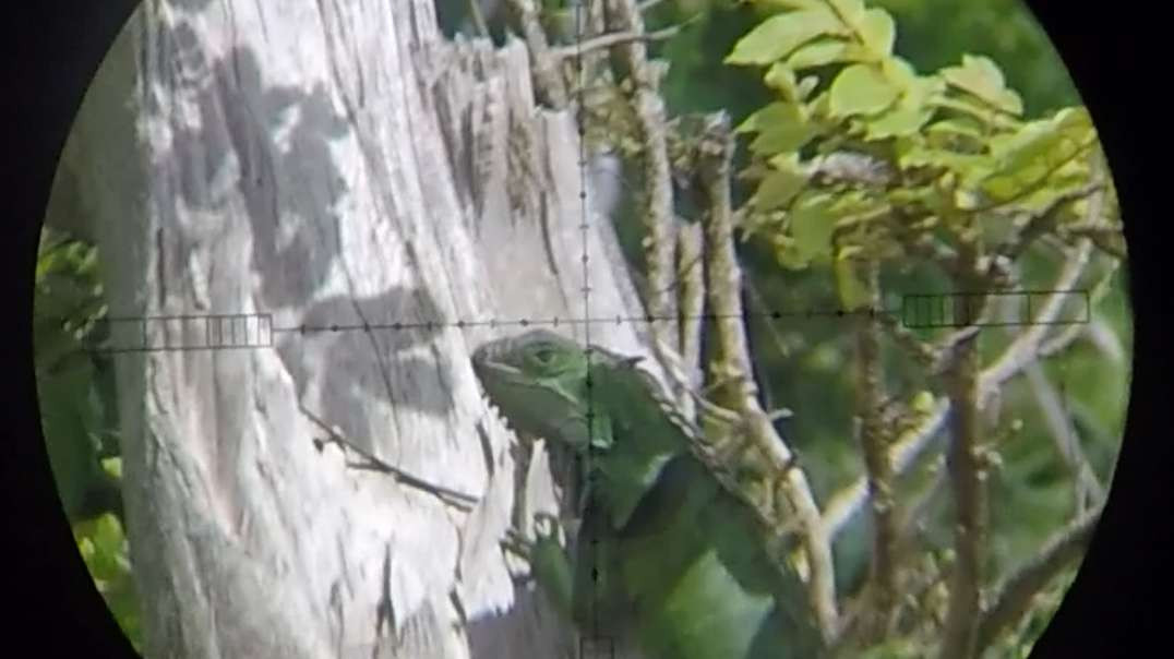!HUNTING VIDEO AHEAD!  Iguana sniping at 40 and 50 yards