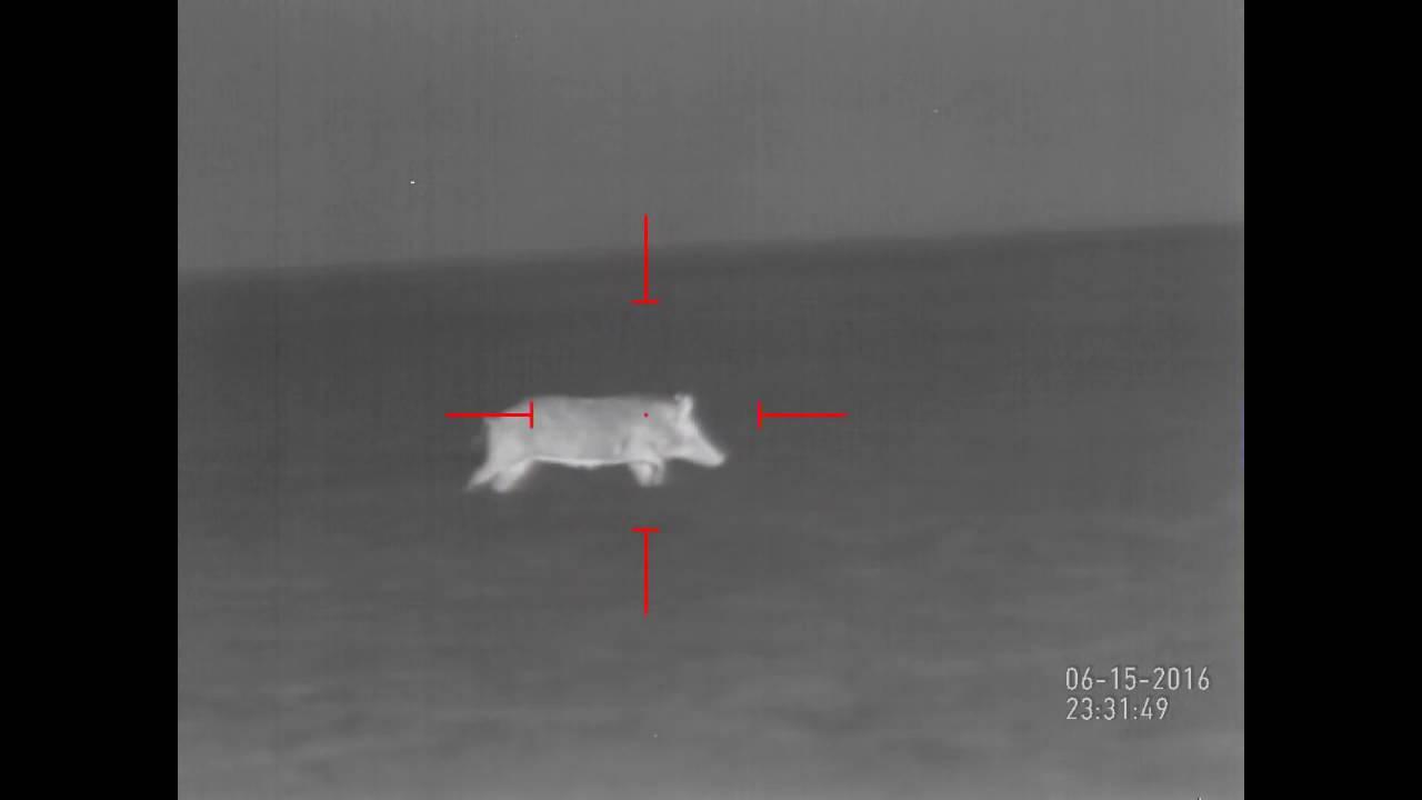 Thermal Hog Hunting 6 pigs down | ATN THOR-HD 640 2.5x