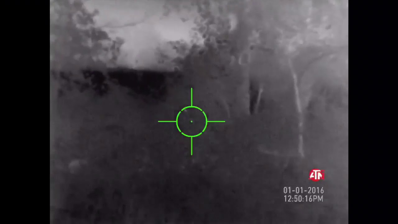 Pile of feral hogs flush out of the brush | ATN ThOR-HD Thermal Rifle Scope with Camera