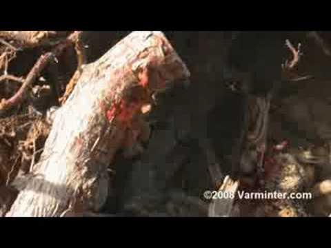 5mm Centurion Remington Rimfire Magnum vs. Ground Squirrel
